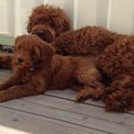 Finn's Pups
